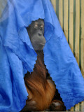 Orang-Utang Daisy is Covered with Sheet, Sleeping in Her Enclosure in Zoological Garden in Dresden Photographic Print