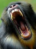 Male Mandrill (Mandrillus Sphinx) Yawns in the Zoo of Budapest, Hungary Photographic Print
