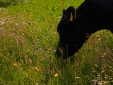 Friesian Cattle Grazing in Wild Flower Meadow, Near Bunmahon, County Waterford, Ireland Photographic Print