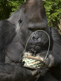 Male Lowland Gorilla with an Easter Basket Given to Him by His Keepers at the Cincinnati Zoo Photographic Print