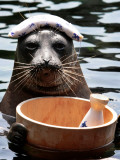 Male Baikal Seal Billy Performs a Dip in Hot Spring, Holding a Sake Bottle at an Aquarium in Hakone Stampa fotografica