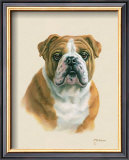 English Bulldog Prints by Judy Gibson