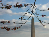 Cherry Blossom Buds are Seen in the Peduncle Elongation Phase by the Washington Monument Photographic Print