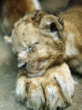 Lion Cub Lays His Head on the Paw of His Mother at Prigen Safari Park in Pasuruan, Indonesia Impressão fotográfica