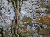 Ivy Bough on Old Wall, Co Waterford, Ireland Photographic Print