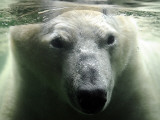 Polar Bear is Pictured under Water at the Zoo in Gelsenkirchen Photographic Print