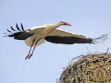 Stork Approaches its Nest in Holzen Photographie