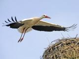 Stork Approaches its Nest in Holzen Reprodukcja zdjęcia