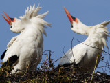 Storks Sit in their Nest at Bergenhusen, Northern Germany Photographic Print