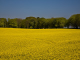 Field of Oil Seed Rape, Near Carrickmacross, County Monaghan, Ireland Photographic Print