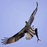 Osprey Carries Fish in Talons as it Flies over the Players Championship Golf Tournament in Florida Photographie