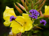 Verbena Bonariensis and Evening Primrose, Ireland Photographic Print