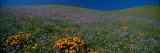 Wildflowers on a Hillside, California, USA Photographic Print by  Panoramic Images