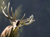 Rutting Stag Bellows in a Wildlife Park in Aurach, Austria Photographic Print