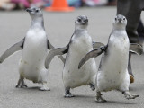 Trio of New Adolescent Magellanic Penguins Waddle Through the San Francisco Zoo Photographic Print