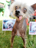 Miss Ellie Competes in World's Ugliest Dog Contest at Sonoma-Marin Fair in Petaluma, California Photographic Print