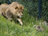 Lion Hounds a Little Fox at the Zoo in Wuppertal Photographic Print