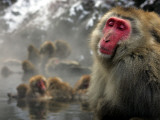 Japanese Macaque Monkeys in a Hot Spring in the Snow at Jigokudani Wild Monkey Park, Nagano Papier Photo