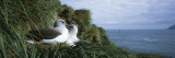 Grey Headed Albatross Courting, Bird Island, South Georgia Island Photographic Print by Panoramic Images
