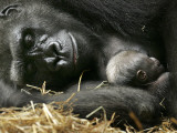 Western Lowland Gorilla, Cradles Her 3-Day Old Baby at the Franklin Park Zoo in Boston Fotografisk tryk