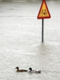 Two Ducks Swim Past a Traffic Sign in a Flooded Street Near the Sava River, in Belgrade Photographic Print
