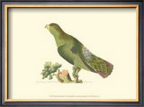 Purple-Tailed Parakeet Prints by George Shaw
