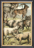 Sheep Posters by Henry J. Johnson