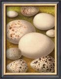 Bird Egg Collection III Prints