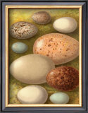 Bird Egg Collection IV Prints