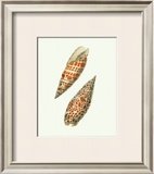 Volute Shells Prints by George Shaw