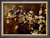 Blackburnian Warbler Prints by Pierre Leduc