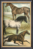 Horse Breeds I Posters by Henry J. Johnson