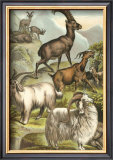 Goats Prints by Henry J. Johnson