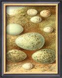 Bird Egg Collection II Prints