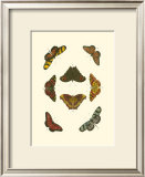 Cramer Butterfly Study IV Posters by Pieter Cramer