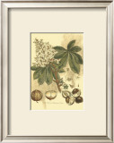 Antique Horse Chestnut Tree Print by  John Miller (Johann Sebastien Mueller)