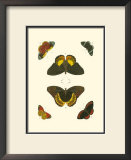 Cramer Butterfly Study I Posters by Pieter Cramer