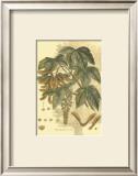 Antique Sycamore Tree Print by  John Miller (Johann Sebastien Mueller)