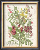 April Sweet Pea Poster by Katie Pertiet