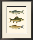 Antique Fish I Poster by Ernest Briggs