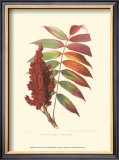 Smooth Sumac Art by  Sprague