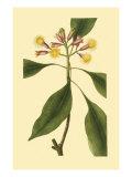 Tropical Ambrosia IV Giclée-Premiumdruck von Sydenham Teast Edwards