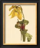 Sarracenia Flava Posters