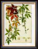 Hedera Prints by M. P. Verneuil