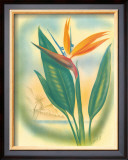 Hawaiian Bird of Paradise Framed Giclee Print by Ted Mundorff