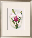 Cattleya Orchid Framed Giclee Print by Ted Mundorff
