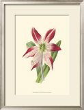 Amaryllis Blooms IV Art by Van Houtteano 