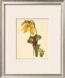 Sarracenia Flava Poster