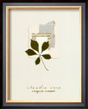 Virginia Creeper Posters by Claudia Vera