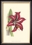 Amaryllis Blooms I Prints by Van Houtteano 